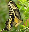 Yellow Swallowtail - Papilio cresphontes