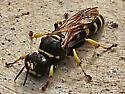 Square-headed Wasp - Crabro