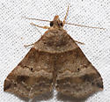 Phalaenophana pyramusalis