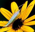Common Tree Crickets (Oecanthus)? - Oecanthus - male