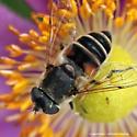 Hover Fly on Japanese anemone - Eristalis