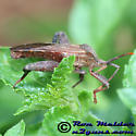 Leaffooted Bug - Piezogaster calcarator - male