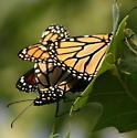 Mating monarchs - Danaus plexippus - male - female