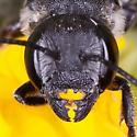 Bellflower resin Bee? - Megachile campanulae - female