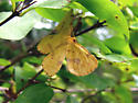 Pink-spotted Yellow Moth - Xanthotype