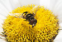 Syrphidae? - Eristalis transversa - male