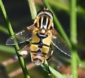Helophilus (latifrons?) - Helophilus latifrons - male