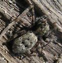 Salticid - Terralonus californicus - female