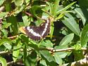 Butterfly - Adelpha californica