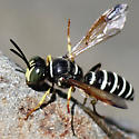 Wasp - Eucerceris