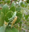 Timemas mate-guarding - Timema chumash - male - female