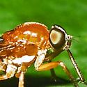 awl-fly - Dialysis rufithorax
