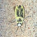 Beetle  - Gyascutus