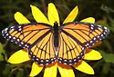 Nymphalidae, Viceroy, dorsal - Limenitis archippus