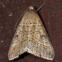 Small Mocis - Hodges#8743 - Mocis latipes