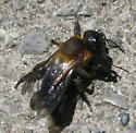 biting bee? - Megachile sculpturalis - female