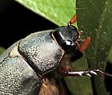 Beetle - Phyllophaga micans