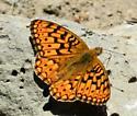 Great Basin Fritillary  (Speyeria egleis)? - Speyeria callippe - male