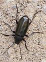 Striped Beetle - Tarpela micans