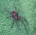 Huge spider _1949 - Dolomedes tenebrosus