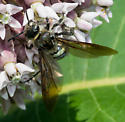 Yellow-collared wasp - Dielis plumipes