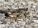 Melanoplus - Melanoplus sanguinipes - male - female
