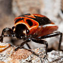 Small Milkweed Bug Nymph? - Lygaeus
