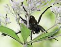 Very Large Spider - Dolomedes vittatus