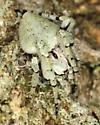Orb-weaver spider sp.- (?) - Eustala anastera