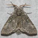 Yellowhorn - Hodges#9184 - Colocasia propinquilinea
