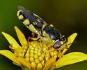 Unknown Bee - Hedriodiscus truquii