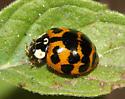 Ladybug 5 - Harmonia axyridis