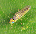 Grass Fly - Meromyza - female