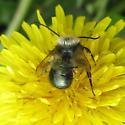 Megachillidae 6-05-10 01a - Osmia lignaria - male