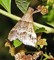 Common name? - Phalaenophana pyramusalis