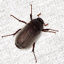 May Beetle? - Phyllophaga