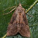 Unknown Moth - Hypena scabra