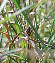 Banded Dragonfly - Aeshna constricta