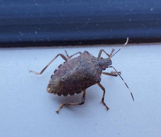 Dusky stink bug - Euschistus tristigmus? - Halyomorpha halys