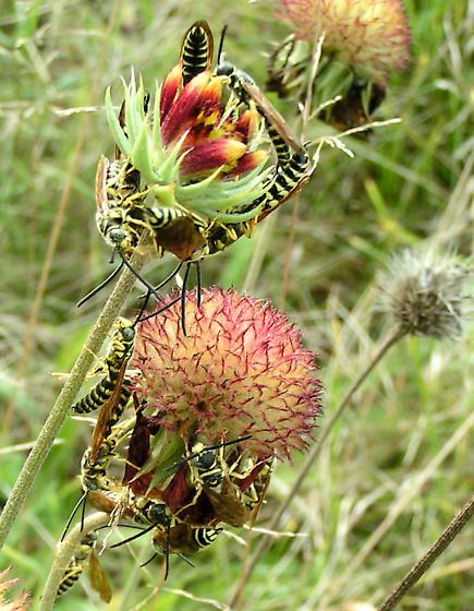 Five-banded Tiphiid Myzinum quinquecinctum - Myzinum quinquecinctum - male