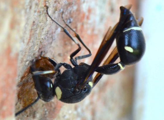 Potter wasp? - Eumenes fraternus