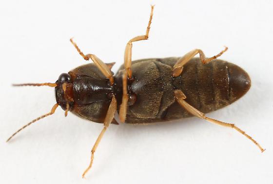 click beetle - Conoderus falli
