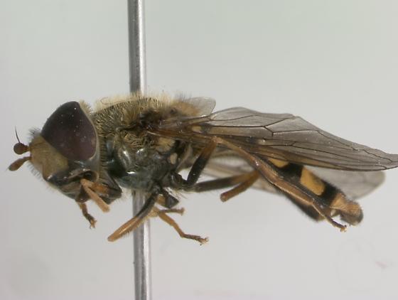 Syrphidae - Eupeodes latifasciatus