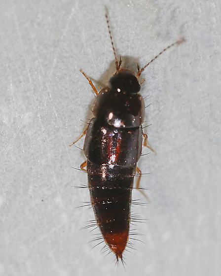 Tachyporus species 2