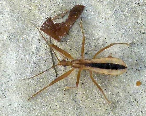 Assassin Bug? - Fitchia aptera