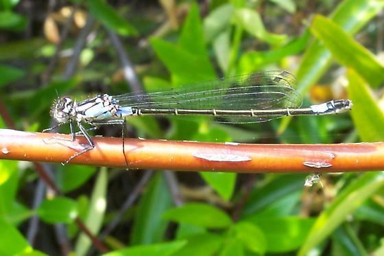Unknown Zygoptera - Zoniagrion exclamationis - female
