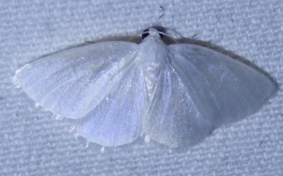 Lomographa vestaliata- White Spring Moth - Lomographa vestaliata