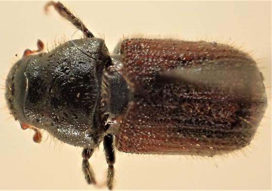 Dendroctonus rufipennis (?) - Dendroctonus rufipennis