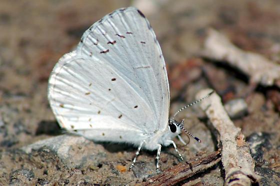 White Butterfly - Celastrina