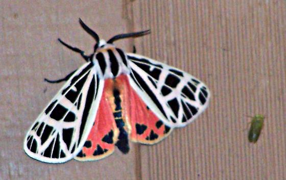 Black White and Orange Moth - Apantesis parthenice